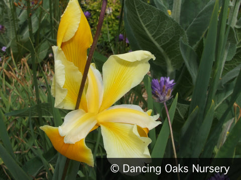 Perennials ~ Iris spuria 'Struttin', Spuria Iris ~ Dancing Oaks Nursery and Gardens ~ Retail Nursery ~ Mail Order Nursery