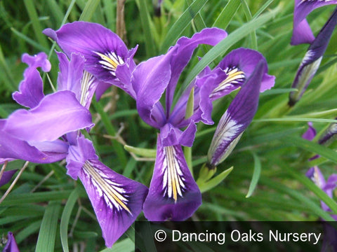 Perennials - Iris Tenax, Native Iris