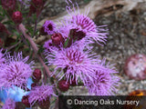 Perennials ~ Liatris ligulistylis, Blazing Star ~ Dancing Oaks Nursery and Gardens ~ Retail Nursery ~ Mail Order Nursery