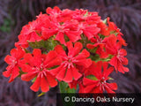 Perennials ~ Lychnis chalcedonica, Maltese Cross ~ Dancing Oaks Nursery