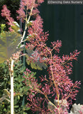 Perennials ~ Macleaya microcarpa 'Summer Haze', Summer Haze Plume Poppy ~ Dancing Oaks Nursery and Gardens ~ Retail Nursery ~ Mail Order Nursery