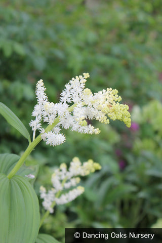 Perennials ~ Maianthemum racemosum (syn. Smilacena racemosa), False Solomon's Seal ~ Dancing Oaks Nursery and Gardens ~ Retail Nursery ~ Mail Order Nursery