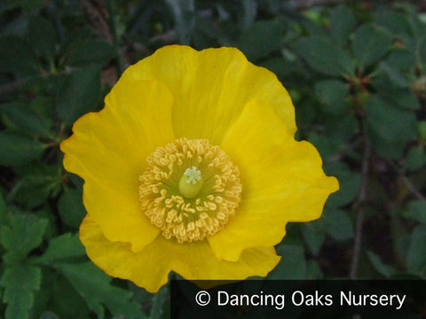 Perennials - Meconopsis Cambrica, Welsh Poppy