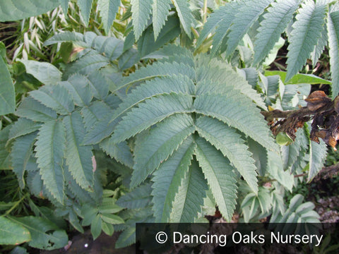 Perennials ~ Melianthus villosus, Honeybush ~ Dancing Oaks Nursery and Gardens ~ Retail Nursery ~ Mail Order Nursery