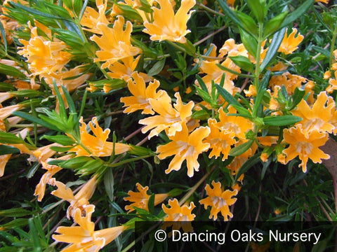Perennials ~ Diplacus (syn. Mimulus)  'Junipero Serra', Shrubby Monkey Flower ~ Dancing Oaks Nursery and Gardens ~ Retail Nursery ~ Mail Order Nursery