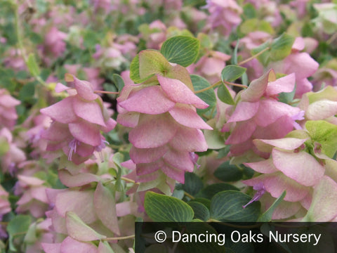 Perennials ~ Origanum 'Kent Beauty', Ornamental Oregano ~ Dancing Oaks Nursery and Gardens ~ Retail Nursery ~ Mail Order Nursery