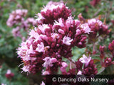 Perennials ~ Origanum laevigatum 'Herrenhausen', Ornamental Oregano ~ Dancing Oaks Nursery and Gardens ~ Retail Nursery ~ Mail Order Nursery