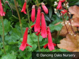 Perennials ~ Ourisia coccinea ~ Dancing Oaks Nursery and Gardens ~ Retail Nursery ~ Mail Order Nursery