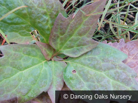 Perennials ~ Pachysandra procumbens, Allegheny Spurge ~ Dancing Oaks Nursery and Gardens ~ Retail Nursery ~ Mail Order Nursery