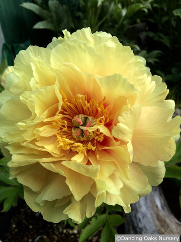 Perennials ~ Paeonia 'Bartzella', Intersectional Peony ~ Dancing Oaks Nursery and Gardens ~ Retail Nursery ~ Mail Order Nursery