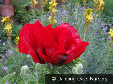 Perennials ~ Papaver orientale 'Beauty of Livermere', Oriental Poppy ~ Dancing Oaks Nursery
