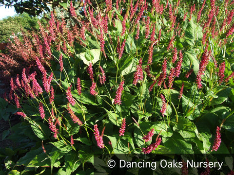 Perennials ~ Persicaria amplexicaulis 'Taurus', Red Fleeceflower ~ Dancing Oaks Nursery