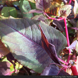 Perennials ~ Persicaria microcephala 'Red Dragon' PP12062, Fleeceflower ~ Dancing Oaks Nursery