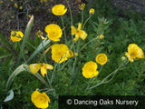 Perennials ~ Ranunculus gramineus, Grass Buttercup ~ Dancing Oaks Nursery