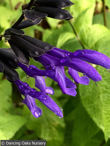 Perennials ~ Salvia guaranitica 'Black and Blue', Anise Scented Sage ~ Dancing Oaks Nursery and Gardens ~ Retail Nursery ~ Mail Order Nursery
