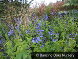 Perennials ~ Salvia guaranitica 'Black and Blue', Anise Scented Sage ~ Dancing Oaks Nursery