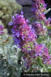 Perennials ~ Salvia pachyphylla, Mojave Sage ~ Dancing Oaks Nursery and Gardens ~ Retail Nursery ~ Mail Order Nursery