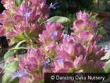 Perennials ~ Salvia pachyphylla, Mojave Sage ~ Dancing Oaks Nursery