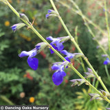 Perennials ~ Salvia reptans 'Blue Willow', Blue Willow Sage ~ Dancing Oaks Nursery and Gardens ~ Retail Nursery ~ Mail Order Nursery