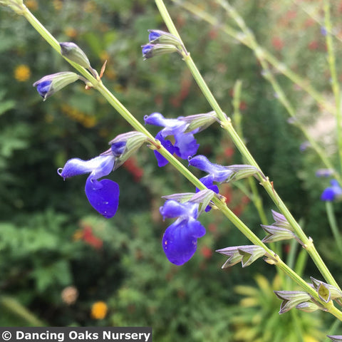 Perennials ~ Salvia reptans 'Blue Willow', Blue Willow Sage ~ Dancing Oaks Nursery and Gardens