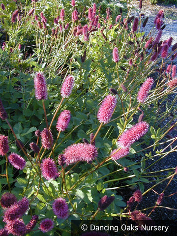 Perennials ~ Sanguisorba menziesii, Burnet ~ Dancing Oaks Nursery