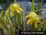 Perennials ~ Sarracenia flava hybrids, Pitcher Plant ~ Dancing Oaks Nursery