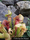 Perennials ~ Sarracenia x catesbaei, Pitcher Plant ~ Dancing Oaks Nursery and Gardens ~ Retail Nursery ~ Mail Order Nursery