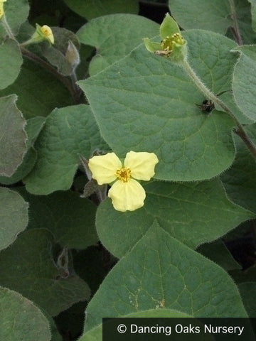 Perennials ~ Saruma henryi, Upright Wild Ginger ~ Dancing Oaks Nursery