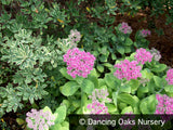 Perennials ~ Sedum spectabile 'Neon', Stonecrop ~ Dancing Oaks Nursery and Gardens ~ Retail Nursery ~ Mail Order Nursery