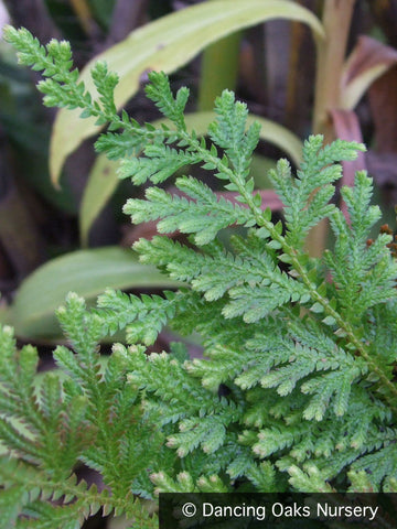 Perennials ~ Selaginella moellendorffii, Spikemoss ~ Dancing Oaks Nursery and Gardens ~ Retail Nursery ~ Mail Order Nursery