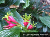 Perennials - Spigelia marilandica, Indian Pink - Dancing Oaks Nursery