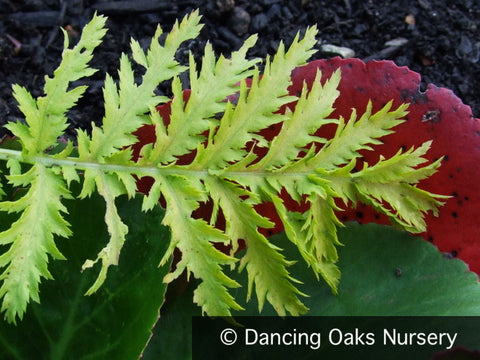 Perennials ~ Tanacetum vulgare 'Isla Gold', Golden Leaf Tansy ~ Dancing Oaks Nursery and Gardens ~ Retail Nursery ~ Mail Order Nursery