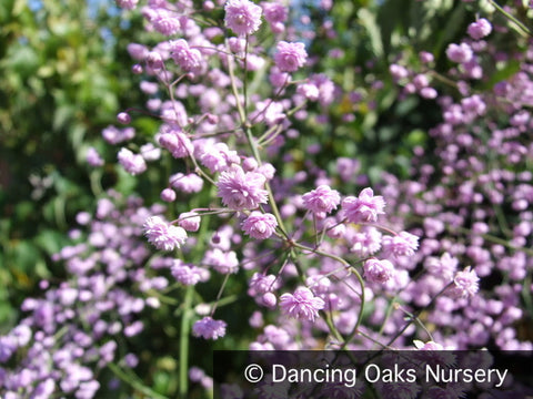 Perennials ~ Thalictrum delavayi 'Hewitt's Double', Meadow Rue ~ Dancing Oaks Nursery and Gardens ~ Retail Nursery ~ Mail Order Nursery