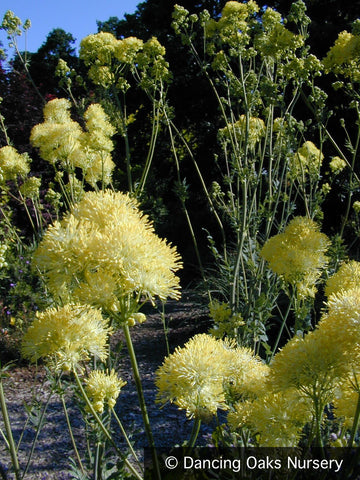 Perennials ~ Thalictrum flavum ssp. glaucum, Meadow Rue ~ Dancing Oaks Nursery