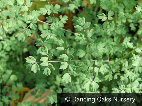 Perennials - Thalictrum isopyroides, Meadow Rue - Dancing Oaks Nursery