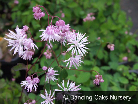 Perennials ~ Thalictrum kiusianum, Meadow Rue ~ Dancing Oaks Nursery