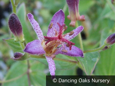 Perennials ~ Tricyrtis 'Samurai', Toad Lily ~ Dancing Oaks Nursery and Gardens ~ Retail Nursery ~ Mail Order Nursery