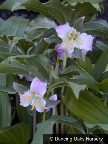 Perennials ~ Trillium catesbaei, Rose Trillium or Bashful Wakerobin ~ Dancing Oaks Nursery and Gardens ~ Retail Nursery ~ Mail Order Nursery