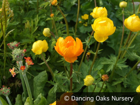 Perennials ~ Trollius cultorum  'Orange Crest', Globeflower ~ Dancing Oaks Nursery