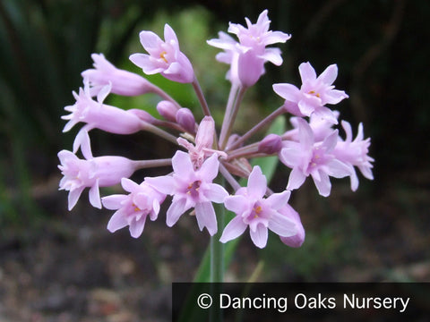 Perennials ~ Tulbaghia simmerli, Sweet Garlic ~ Dancing Oaks Nursery