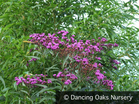 Perennials ~ Vernonia crinita, Ironweed ~ Dancing Oaks Nursery and Gardens ~ Retail Nursery ~ Mail Order Nursery