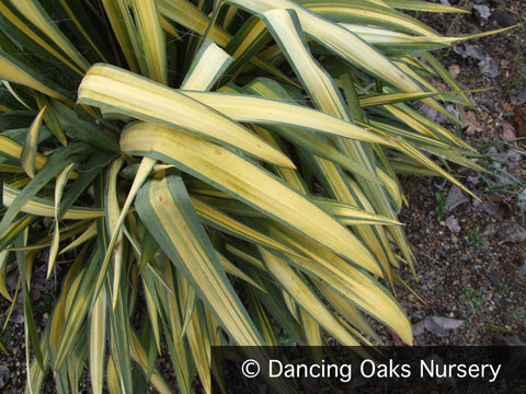 Perennials ~ Yucca filamentosa 'Garland Gold', Variegated Adam's Needle ~ Dancing Oaks Nursery and Gardens ~ Retail Nursery ~ Mail Order Nursery