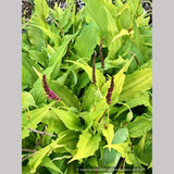 Perennials ~ Persicaria amplexicaulis 'Golden Arrow', Red Bistort or Mountain Fleece ~ Dancing Oaks Nursery and Gardens ~ Retail Nursery ~ Mail Order Nursery