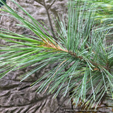 Trees ~ Pinus flexilis 'Cesarini Blue', Cesarini Blue Limber Pine ~ Dancing Oaks Nursery and Gardens ~ Retail Nursery ~ Mail Order Nursery
