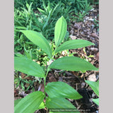 Perennials ~ Polygonatum orientale (syn. P. polyanthemum), Oriental Solomon's Seal ~ Dancing Oaks Nursery and Gardens ~ Retail Nursery ~ Mail Order Nursery