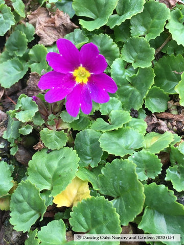 Perennials ~ Primula juliae, Primrose ~ Dancing Oaks Nursery and Gardens ~ Retail Nursery ~ Mail Order Nursery