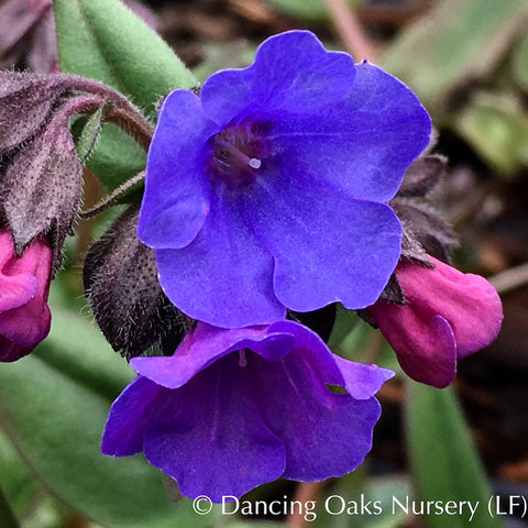 Perennials ~ Pulmonaria 'Blue Ensign', Lungwort ~ Dancing Oaks Nursery and Gardens ~ Retail Nursery ~ Mail Order Nursery