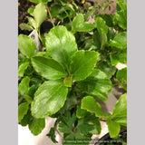 Shrubs ~ Ribes davidii, Evergreen Prostrate Currant ~ Dancing Oaks Nursery and Gardens ~ Retail Nursery ~ Mail Order Nursery