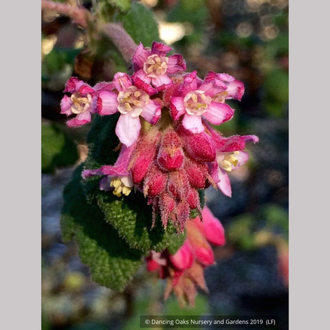 Shrubs ~ Ribes malvaceum, Chaparral Currant ~ Dancing Oaks Nursery and Gardens ~ Retail Nursery ~ Mail Order Nursery