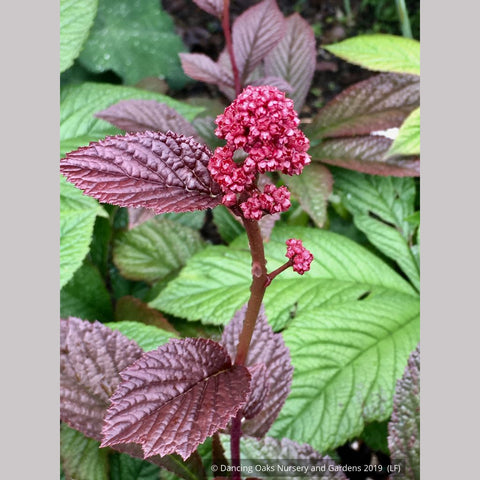 Perennials ~ Rodgersia pinnata 'Bronze Peacock', Rodger's Flower ~ Dancing Oaks Nursery and Gardens ~ Retail Nursery ~ Mail Order Nursery